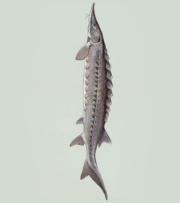 French Sturgeon